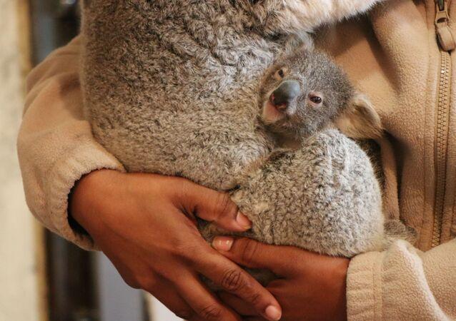 Filhote de coala nasce no zoológico de Lisboa