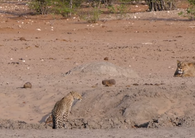 Leopardo foge de leoa