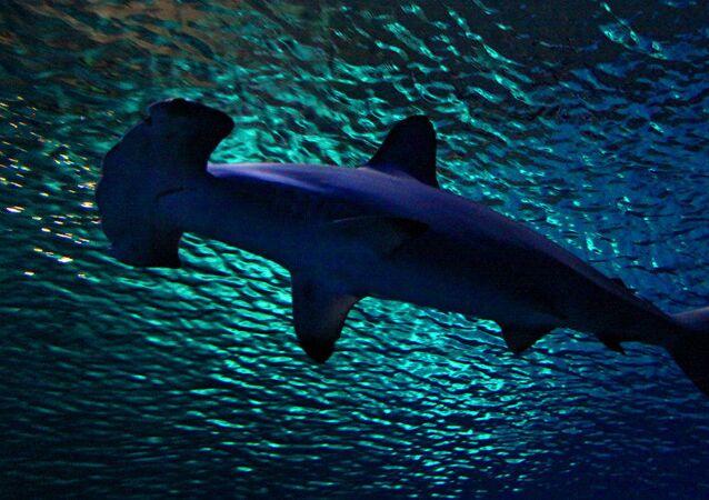 Tubarão-martelo (imagem de referência)