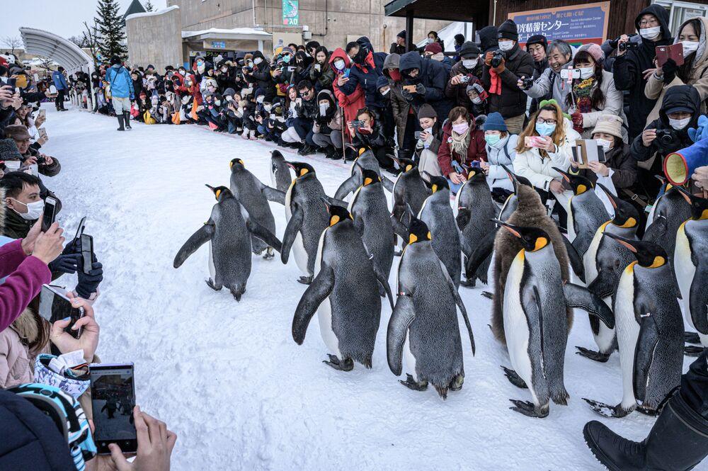 Pinguins-rei caminham sobre a neve no zoológico de Asahiyama em Asahikawa, no norte do Japão