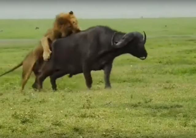 Leão comendo búfalo na Tanzânia