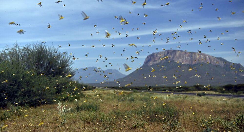 Praga de gafanhotos passando pelo território do Quênia (foto de arquivo)