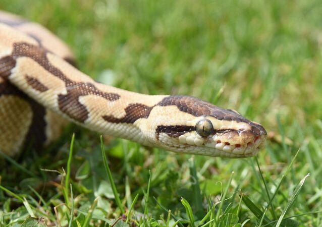 Cobra píton  (imagem referencial)