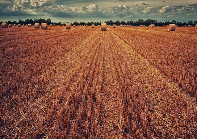 Colheita de trigo (imagem referencial)