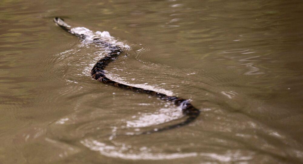 Cobra d'água (imagem referencial)