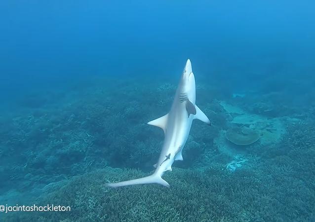 Tubarão nadando de lado em mar da Austrália