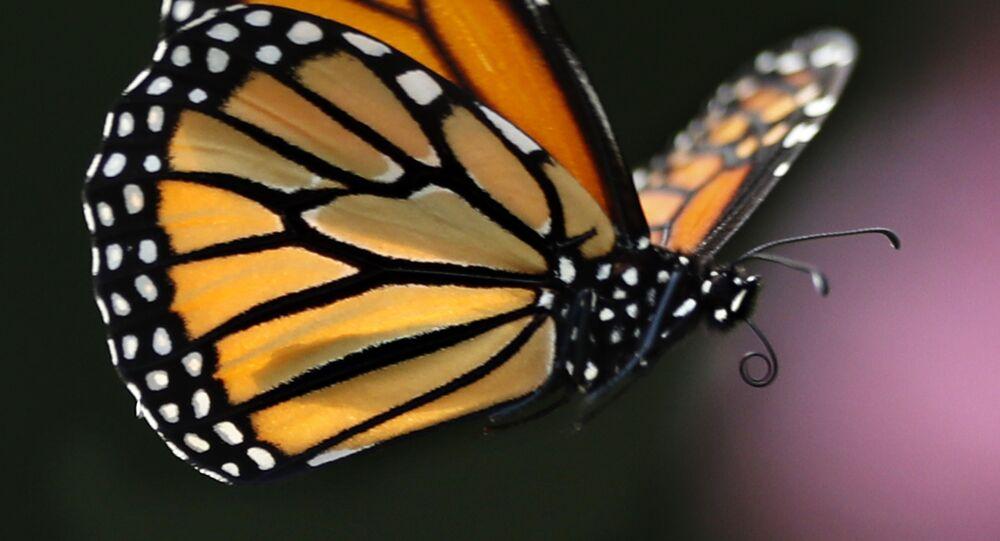 Borboleta-monarca voa em Freeport, Estados Unidos