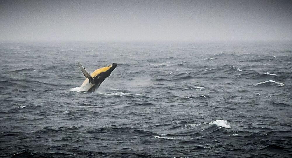 Baleia-jubarte é vista na costa da Antártica, mais precisamente perto da costa do oceano Pacífico