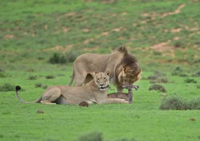 Leões devoram antílope