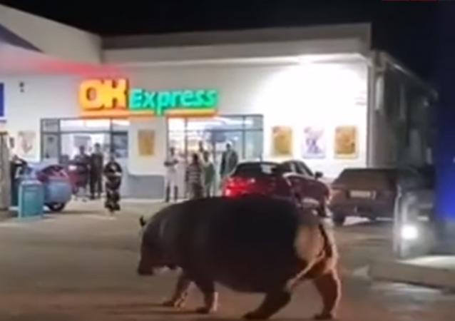 Hipopótamo em posto de gasolina