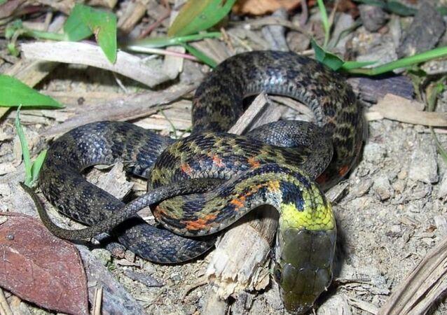 Cobra Rhabdophis (imagem referencial)