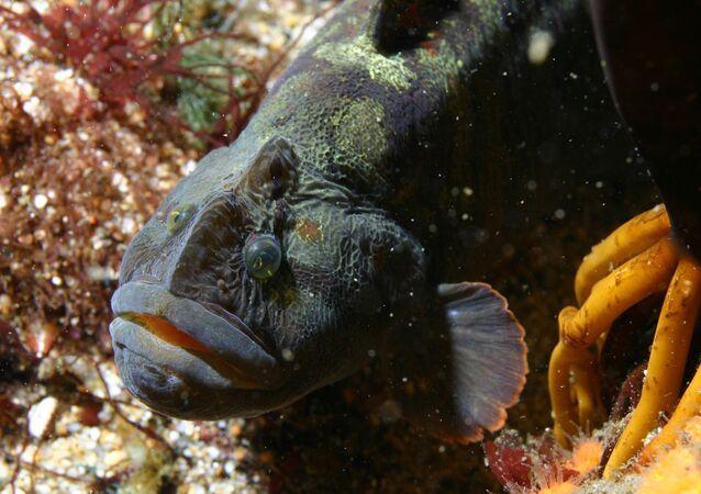 Peixe Cebidichthys violaceus