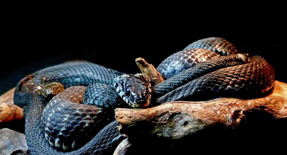 cobra-negra (imagem referencial)