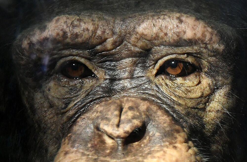 Chimpanzé fêmea chamada Anfisa no parque natural Roev Ruchei, nos arredores da cidade russa de Krasnoyarsk