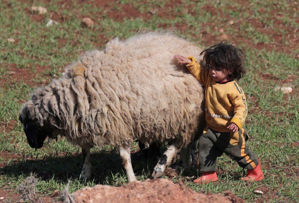 Criança refugiada síria brinca com ovelha em Azaz, Síria