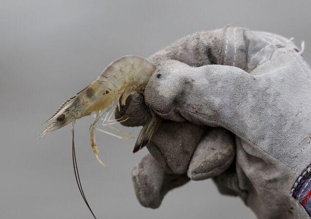 Biólogo mostra camarão no costa de Louisiana, nos Estados Unidos