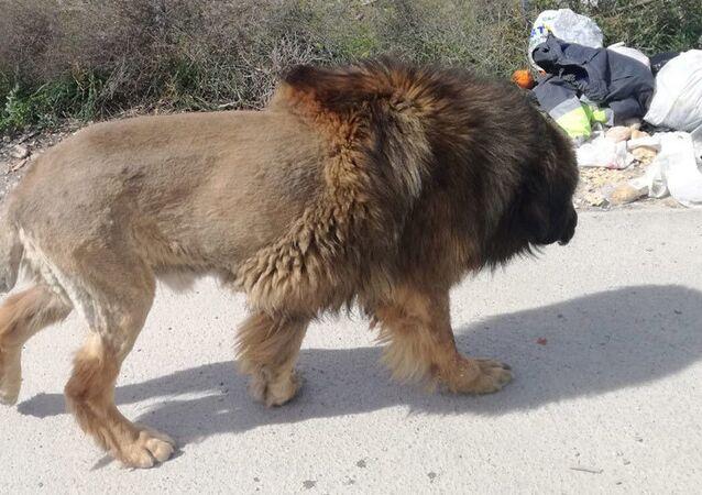 Foto do suposto leão fornecida pela polícia da cidade de Molina de Segura, na Espanha, em 7 de março de 2020
