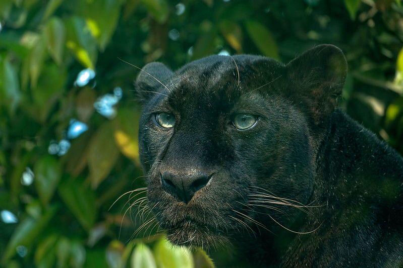 Leopardo negro selvagem