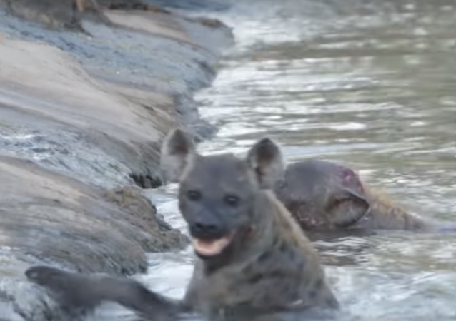 Hienas tentam se afogar em rio