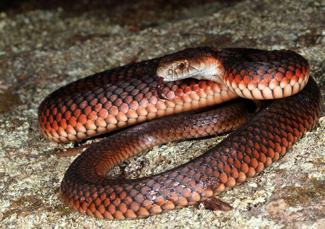 Cobra Austrelaps superbus (imagem referencial)