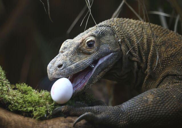 Dragão-de-komodo come ovo em zoológico de Londres