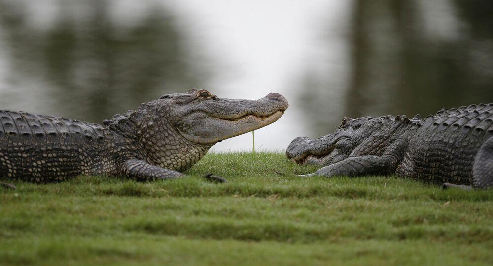 Dois jacarés em campo de golfe no Estados Unidos