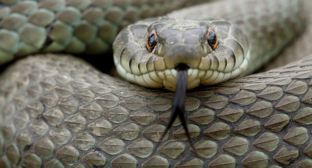 Cobra natrix natrix (imagem ilustrativa)