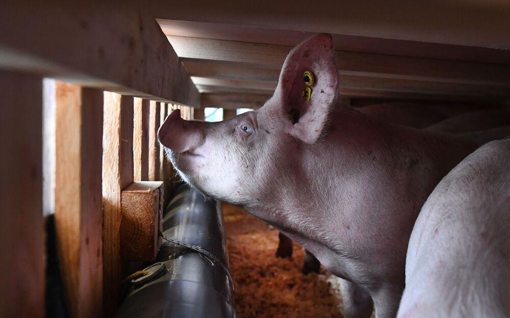 Porco em jaula no aeroporto de Brest Bretagne, na França