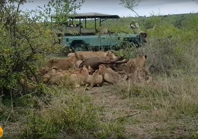 Leões contra búfalo