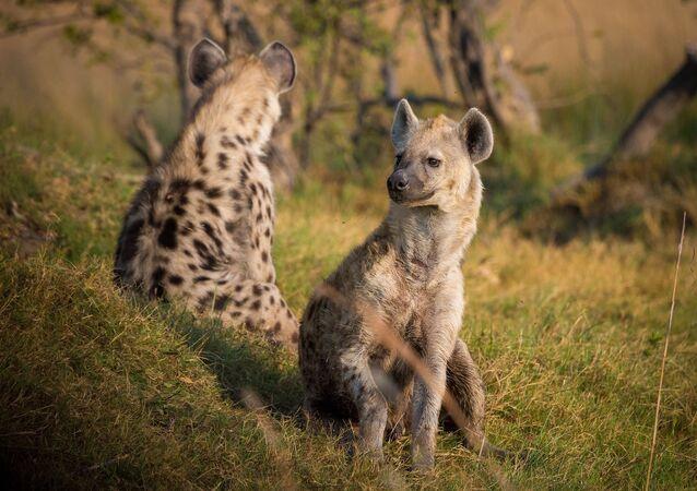 Hienas (imagem ilustrativa)