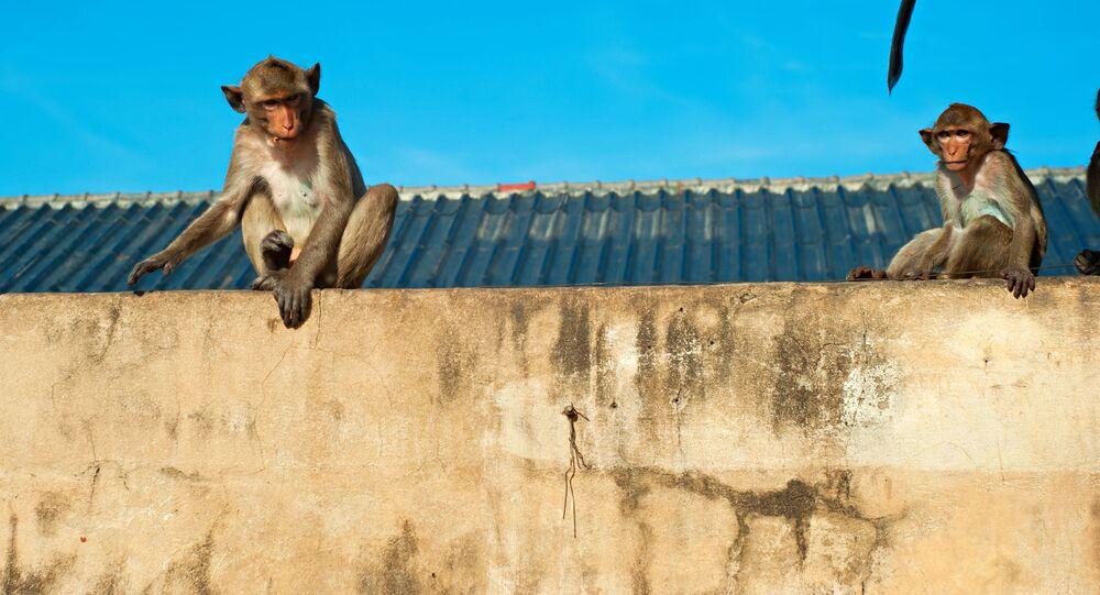 Macacos sentados nos telhados e nas paredes