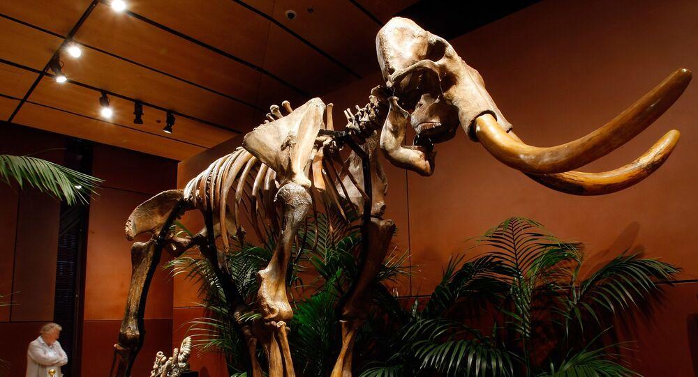 Esqueleto de mamute lanoso com 90% de seus ossos originais é exibido no Venetian Resort Hotel Casino, 30 de setembro de 2009, Las Vegas, Nevada