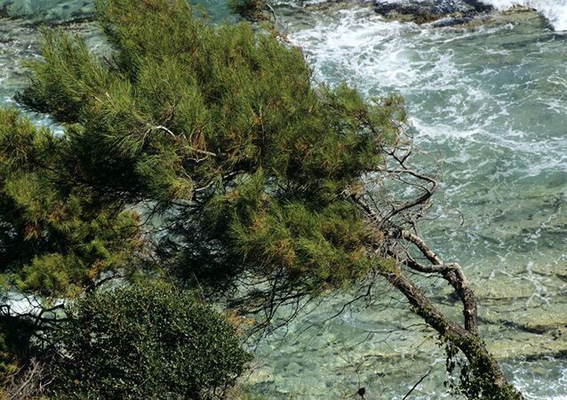 Pinheiro na ilha grega de Tasos (foto de arquivo)