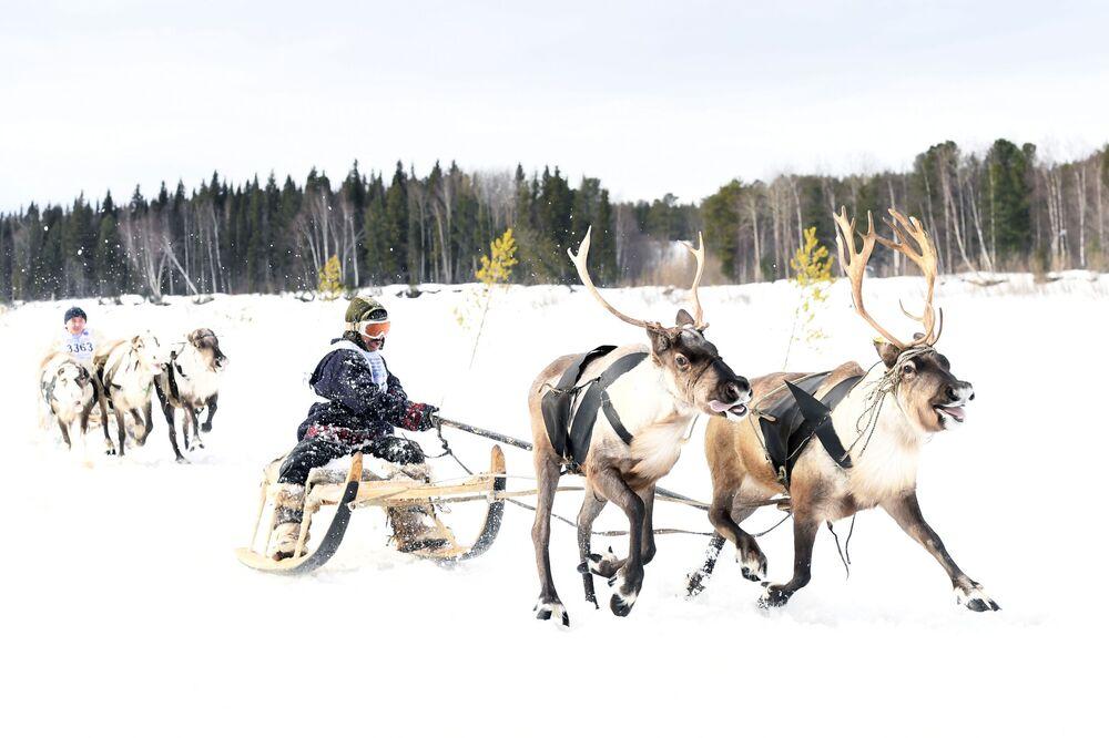 Corrida de trenós puxados por renas durante a celebração do Dia do Criador de Renas em Yamal, Rússia