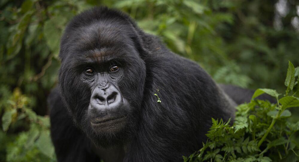 Gorila no Parque Nacional Volcanoes, no Ruanda