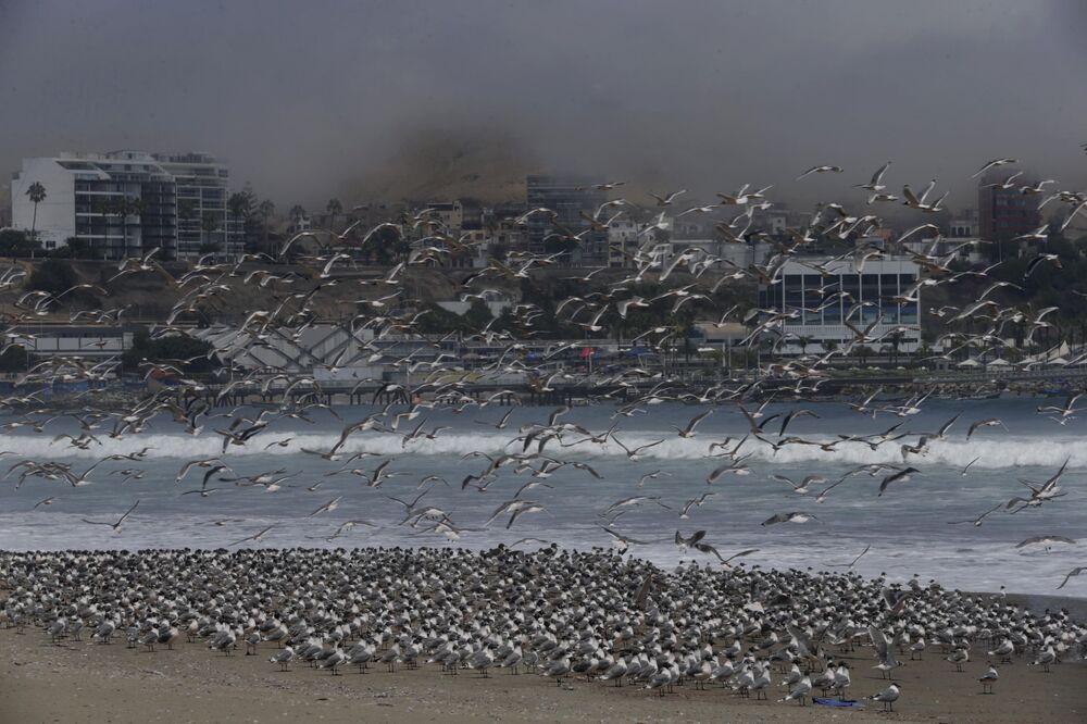 Centenas de pássaros em uma praia de Lima, no Peru