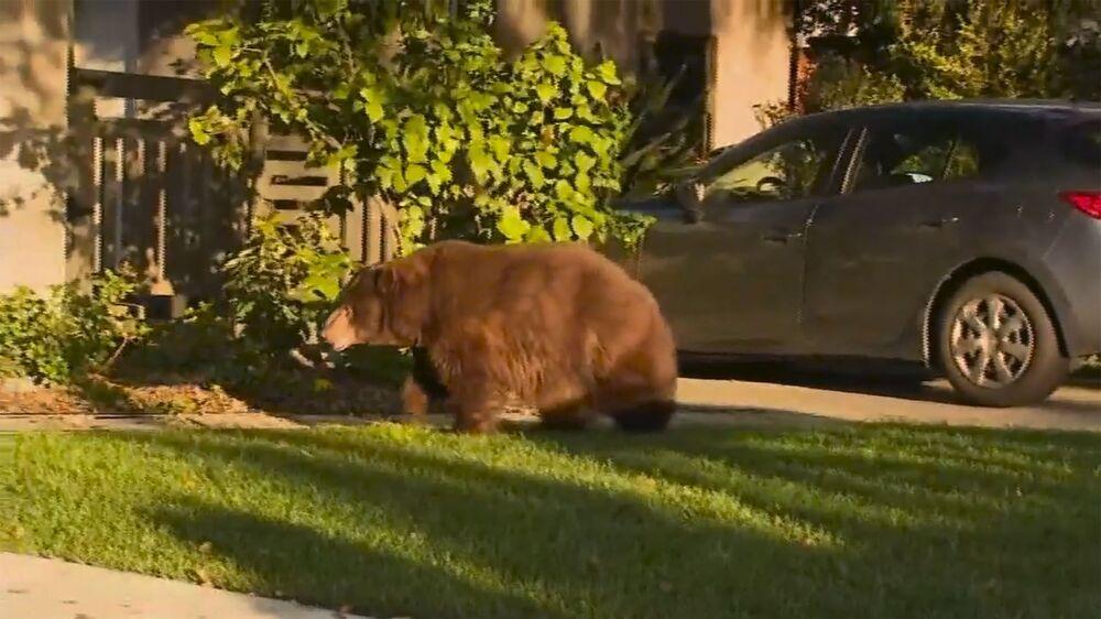 Urso solto em jardim da Califórnia, nos Estados Unidos