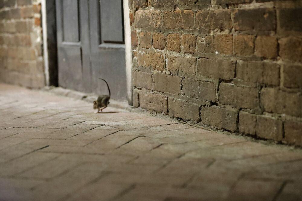 Ratos em rua deserta no estado norte-americano de Nova Orleans