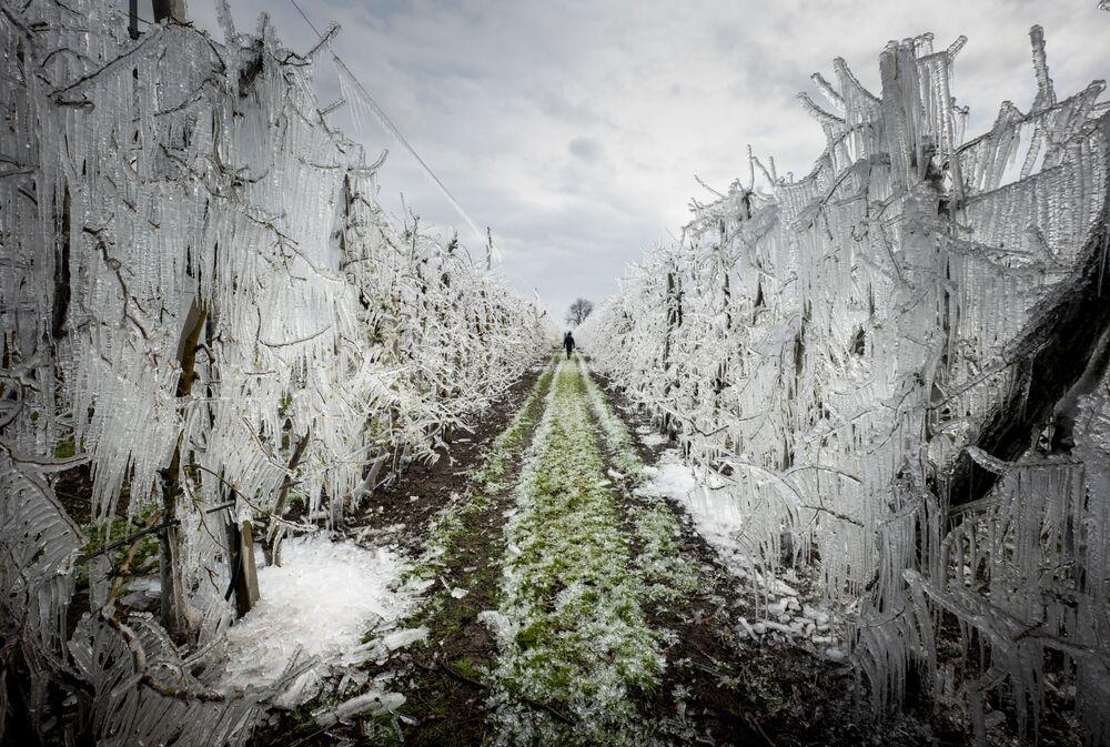 Homem caminha entre macieiras congeladas perto de Bratislava, Eslováquia, 25 de março de 2020