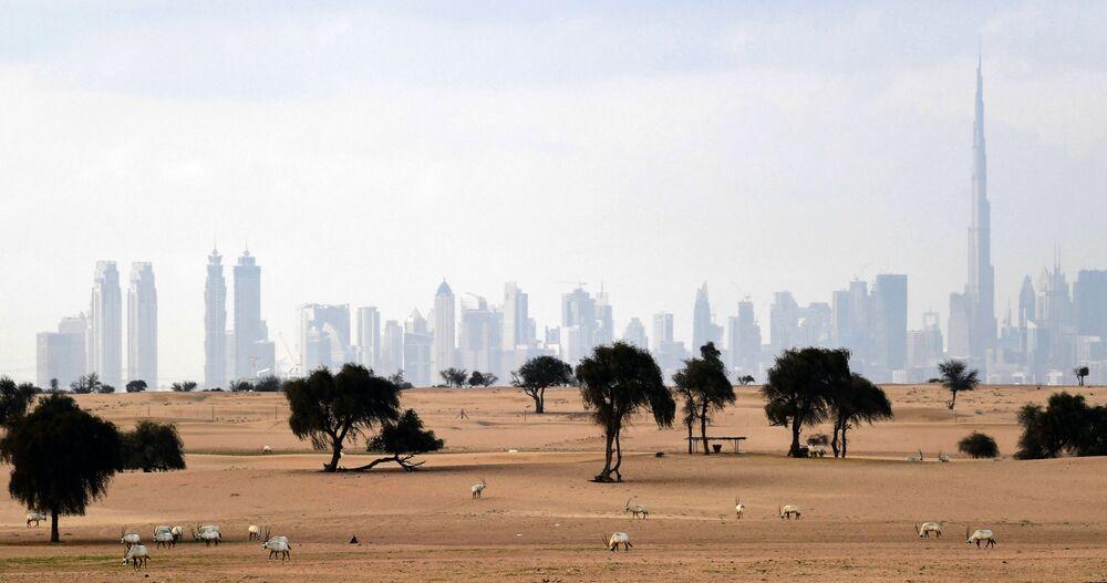 Animais da espécie órix-branco são vistos no deserto com vista da cidade de Dubai, nos Emirados Árabes Unidos, em 25 de março de 2020