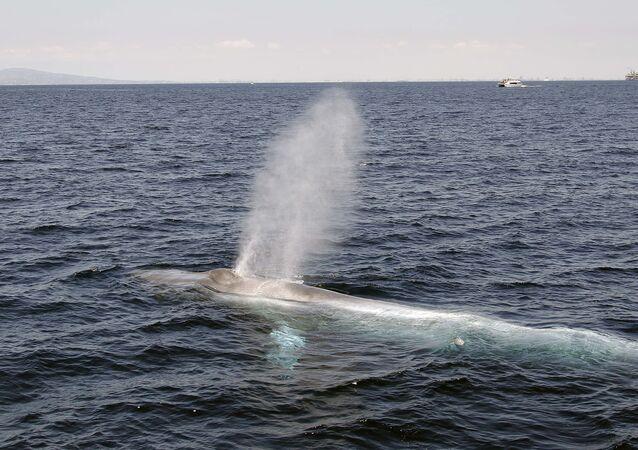 Baleia passeia pela costa próximo ao estado da Califórnia (EUA)