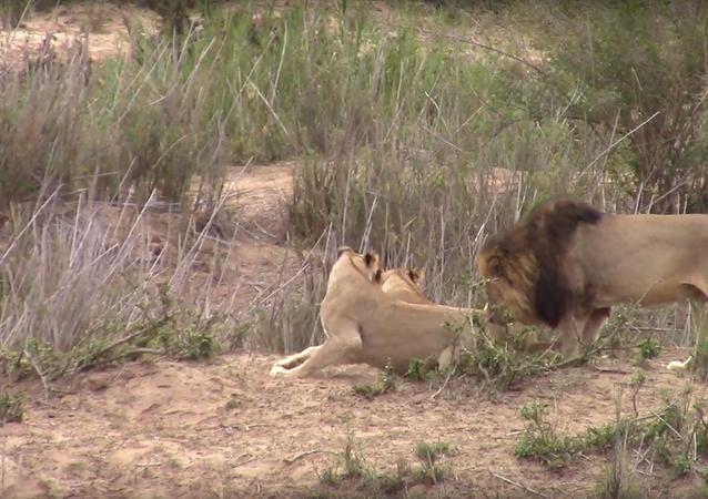 Leoa dá tampa em leão