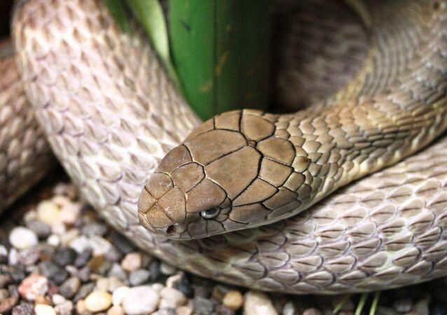 Cobra-rei (imagem referencial)