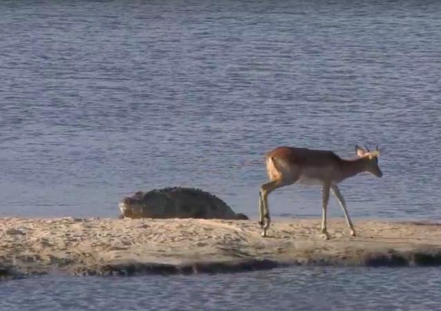 Hipopótamo tenta em vão salvar impala das mandíbulas de crocodilo faminto