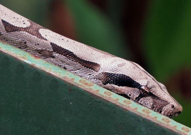 Cobra (foto de arquivo)