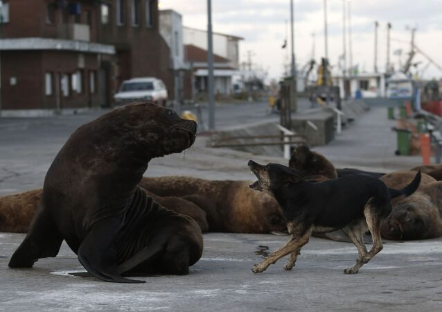 Cachorro de rua late para leão-marinho em Mar de la Plata