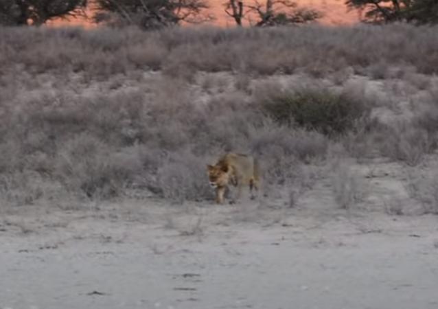 Hiena cai nas garras dos leões