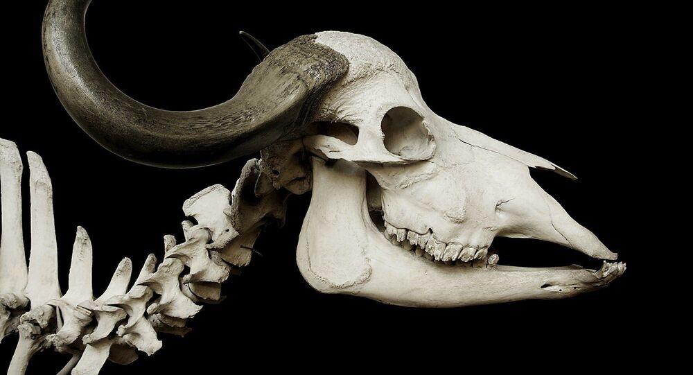 Crânio de búfalo (imagem referencial)