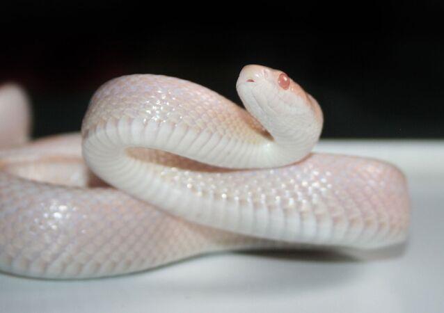 Serpente