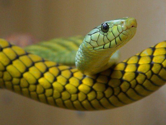 Uma cobra (imagem referencial)
